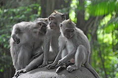Monkey Moods (The Spirit of the World) Tags: bali nature forest indonesia asia wildlife monkeys ubud tropicalforest sacredmonkeyforest wildlifereserve macaquemonkeys wildlifeportrait wildlifeofindonesia rememberthatmomentlevel4 rememberthatmomentlevel1 rememberthatmomentlevel2 rememberthatmomentlevel3
