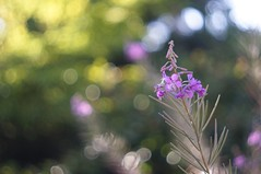 Stand tall and proud -- EXPLORE (gwuphd) Tags: flower macro dof purple bokeh 55mm chinon f17