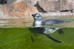Penguin (Brianna S.) Tags: travel berlin bird tourism water animal germany zoo penguin aquarium nikon europe wildlife tourist attraction marchbreak 2014 d90 18105mm