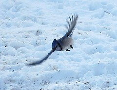 Blue Jay (cyanocitta cristata) (Gerald Barnett) Tags: blue winter snow bird nature birds outdoors nikon wildlife birding bluejays birdwatching birdinflight shawneenationalforest