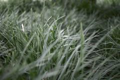 Windy (oliko2) Tags: green nature grass leaves 35mm wind bokeh depthoffield f18 freiburg botanicalgarden nikond5100