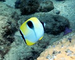 Teardrop Butterflyfish (CPT Drew) Tags: ocean life sea fish island hawaii marine pacific oahu hawaiian tropical creatures fishes
