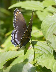 Red Spotted Purple (Carolyn Lehrke) Tags: usa nature forest butterflies insects wv redspottedpurple greenbriercounty