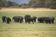 Big group of elephants