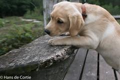 IMG_5084.jpg (Hans de Cortie) Tags: labrador nederland labradorretriever noordbrabant fionn wintelre