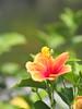 ハイビスカス (Polotaro) Tags: flower nature pen olympus 花 自然 zuiko ペン ハイビスカス オリンパス 7月 ズイコー mzuikodigital45mmf18 epm2