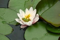L1220197 (BS-Foto) Tags: bsfoto frog frosch grenouille green grün vert leica vlux1 lilly water seerose waterlilly garten teich pond reinhartshausen garden leicavlux1 leicavlux vlux