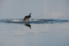 Osprey (Boulder Flying Circus Birders) Tags: osprey pandionhaliaetus birdwalk sawhillponds waldenponds stevefrye wildbirdcenterboulder ospreyboulder ospreycolorado wildbirdboulder wildbirdcolorado ospreybouldercounty