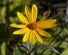 0008352 (To all that visit, Thank you) Tags: canada flower yellow garden nb daisy mygarden ©allrightsreserved nbphoto