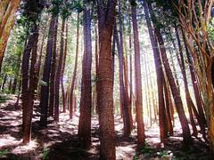 In A Forest (sirhowardlee) Tags: trees nature sunshine forest hawaii arboles hiking selva scenic peaceful maui bark serene hillside
