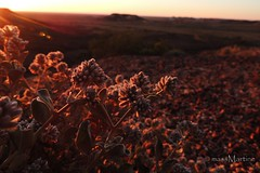 Sunrise in the outback (massMartine) Tags: flowers red flower sunrise sand desert australia soil outback