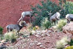 ROUNDING THEM UP (Aspenbreeze) Tags: nature colorado natural wildlife wildanimal ram desertbighornsheep bighornsheep coloradonationalmonument aspenbreeze moonandbackphotography bevzuerlein moonandbackphotos moonandbackphotosa