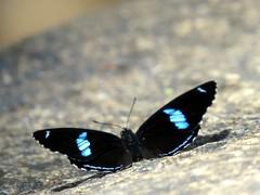 88 (Márcio Vinícius Pinheiro) Tags: nature rural butterfly insect natureza inseto borboleta brushfooted diaethriaclymena borboleta88 cramerseightyeight
