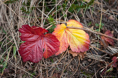 Flickr_NIK3226 (Tony Rowlett) Tags: autumn color leaves alaska tony anchorage rowlett arcticvalley tonyrowlett