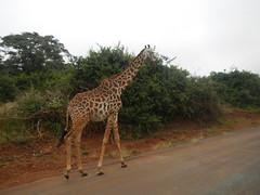 IMG_4037c (Jarod Burns) Tags: africa nationalpark kenya wildlife nairobi safari giraffe nairobinationalpark