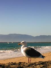 Portrait of a seagull (maralina!) Tags: california bird beach strand losangeles hometown seagull gull playa pacificocean socal pajaro southerncalifornia möwe plage gaviota oiseau spiaggia gabbiano vogel mouette latesummer playadelrey