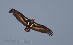Red-headed vulture (Zahoor-Salmi) Tags: camera pakistan macro nature birds animals canon lens photo tv google flickr natural action wildlife watch bbc punjab wwf salmi walpapers chanals discovry beutty bhalwal zahoorsalmi