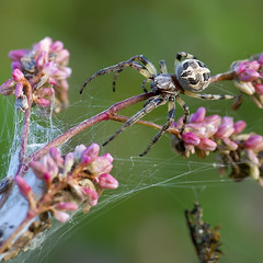 Larinioides cornutus (Ouwesok) Tags: spider spin larinioidescornutus woldlakebos rietkruisspin tamron2890mm furroworbweaver sonyalfa500