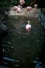 2014-9-19 Flamingo Nogeyama Zoo Yokohama (kuma_photography) Tags: japan zoo flamingo 日本 yokohama kanagawa 横浜 野毛山動物園 動物 動物園 神奈川 nogeyama フラミンゴ