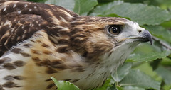 Red-tailed Hawk (Juvenile) (Redtail10025) Tags: nyc red eagle hawk centralpark wildlife tail raptor falcon redtailed birdsofprey palemale