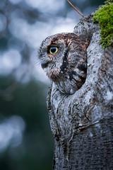Western Screech Owl (OwlPurist) Tags: westernscreechowl megascopskennicottii portland oregon