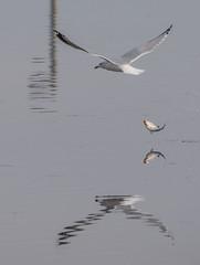 Gull Fish Drop (Jan Crites) Tags: iowa leclaire nature river mississippiriver lockanddam14 gull reflection fishing jancritesphotography february