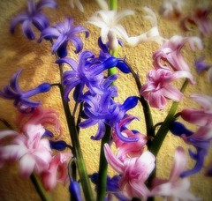 * Giacinti del giardino * Garden's hyacinths * (argia world 1) Tags: giacinti fiori giardino luce ombra colori hyacinths flowers garden light shadow colours