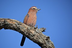 Purple Roller (Barbara Evans 7) Tags: purple roller abijata and shalla national park ethiopia barbara evans7