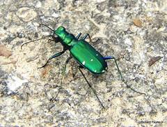 Six-Spotted Tiger Beetle_N7640 (Henryr10) Tags: cicindelasexguttata cicindela eastforkstatepark bethelohio littlemiamiriverbasin tigerbeetle sixspottedtigerbeetle