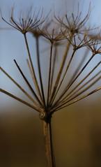 Umbellifer seed-head (Keith (foggybummer)) Tags: snail umbellifor millipede seedhead woodland