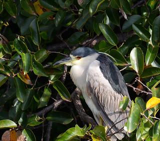 Black Crowned-Night Heron