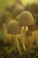 Pair of musrooms in a cluster at Mona Vale (Yani Dubin) Tags: d7000 monavale green autumn gimp fungus fungi bokeh brown color christchurch newzealand mushroom tokinaaf100mmf28macro canterbury darktable colour macrophotography macro bokehlicious white nature