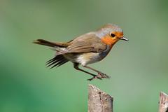 DSC_3401 (sylvettet) Tags: bird jumpingrobin oiseau 2017 animal saut extérieur nature action reflexe reflex timing