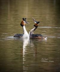 Courtship. (Albatross Imagery) Tags: courting instagram flickr nikkor nikon ukwildlife uk wildlife bird birds greatcrestedgrebe