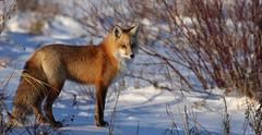Foxy (Guy Lichter Photography - 3.9M views Thank you) Tags: canon 5d3 canada manitoba hecla wildlife animal animals mammal mammals fox redfox
