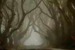 Foggy Dark Hedges - Northern Ireland (Frédéric Lefebvre - Landscape photography) Tags: dark edges darkedges antrim northernireland fog landscape moody trees tunneltree ngc road uk ireland frost nebel mist foggy mysterious
