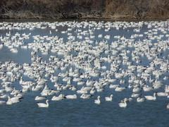 Delta Snow Goose Migration (fkalltheway) Tags: deltautah utah snowgoose migration flock goose fkalltheway