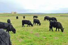 Sker (cmw_1965) Tags: welsh black beef herd calves sker house medieval farm glamorgan south wales cow bull