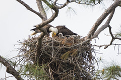 Eagles and Eaglets (Longleaf.Photography) Tags: baldeagle eagle eaglet wildlife bird al gulf shores nest family