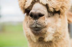medina-7746 (FarFlungTravels) Tags: alpaca animal farm medinacounty onefineday shear wool