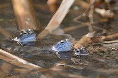 Wer mit wem? (Caora) Tags: frog pond eggs frosch laich germany march blue moorfrosch moor
