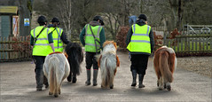 Bedtime for Little Ponies (meniscuslens) Tags: shetland pony ponies hivis groom carpark shed fence bums tails skewbald horse trust charity rescue buckinghamshire