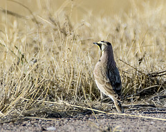 Out on a lark! (ardeth.carlson) Tags: hornedlark birds nature wildlife colorado