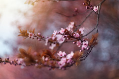 Spring (Pásztor András) Tags: spring nature blossom cherry pink flower tree warm life mood colorful blur bokeh manual lens helios m42 russian 58mm dslr nikon d5100 hungary andras pasztor photography 2017