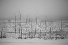but strong (Mindaugas Buivydas) Tags: lietuva lithuania fog mist winter january tree trees mood moody sadnature snow frost mindaugasbuivydas