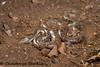Whitaker's boa (Chaitanya Shukla) Tags: boas boidae eryxwhitakeri macro maharashtra pune reptilesandamphibiansofindia snake snakesofindia tamhinighat whitakersboa whitekarssandboa