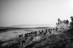 Goat Herd, Visakhapatnam (naren-photography) Tags: visakhapatnam bheemli rushikonda ricoh gr ii street india