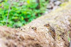 Chipmunk (lxiao9990) Tags: tamron70300mm radnorlake wildlife spring nashville tennessee