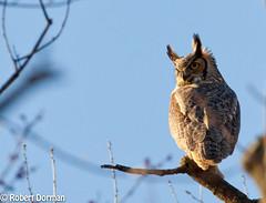 Great Horned Owl (tavarez.niurka) Tags: great horned owl bubo virginianus hooter hooters raptor predator bird ave buf hontza сава sova бухал mussol ugle uil öökull pöllö hibou curuxa eule κουκουβάγια bagoly ugla gufo pūce pelėda був kokka sowa coruja bufniță сова búho uggla tylluan