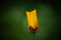 California poppy (Team Kweeper) Tags: california native wildflower sierranevadafoothills
